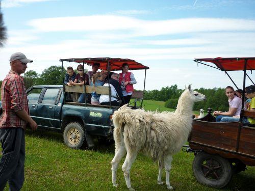 Wycieczka szkolna Mazury, Zoo Safari, lama
